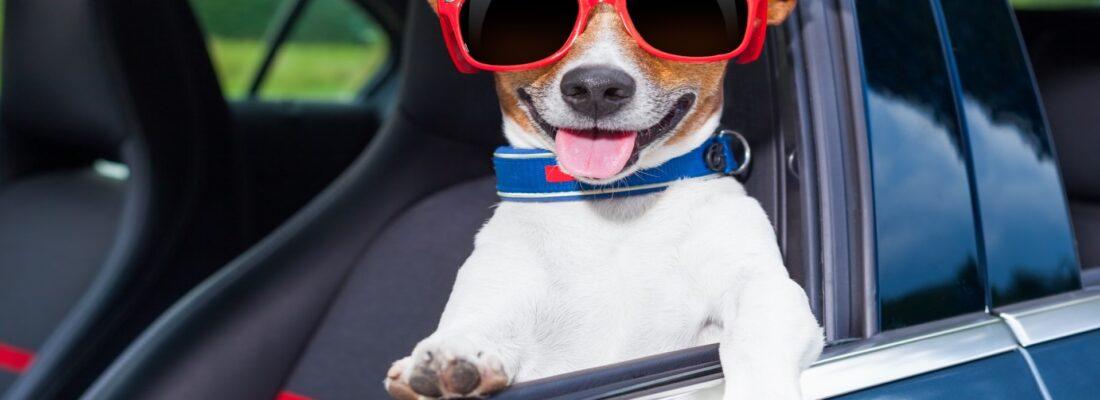 dog in car door window